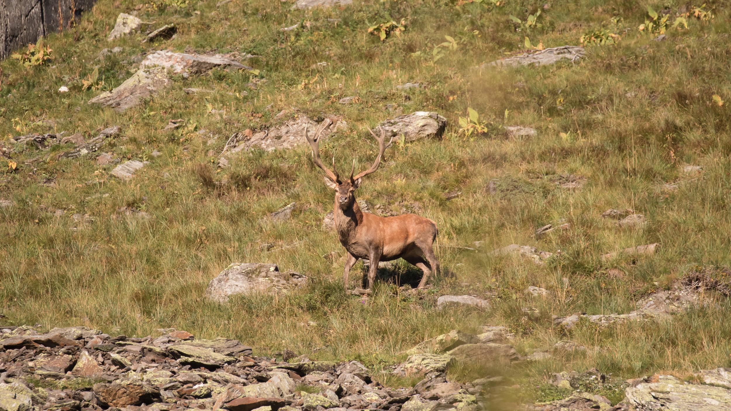 red-deer-stag-salva-fauna