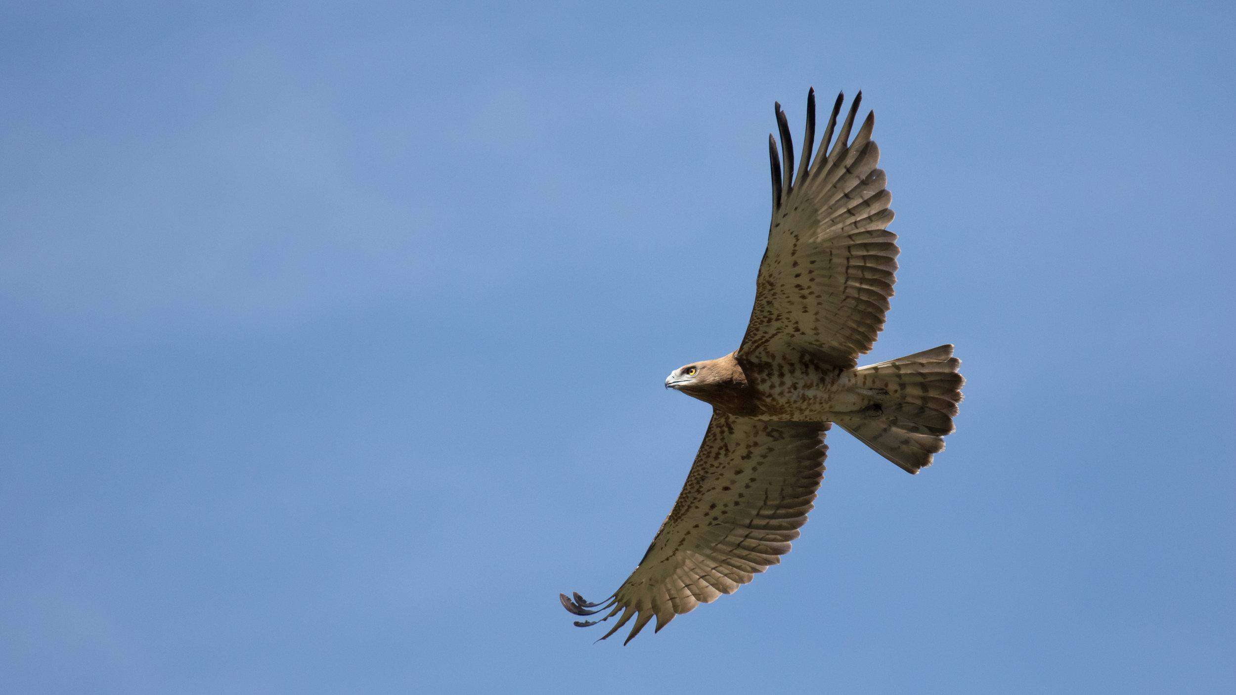 short-toed-snake-eagle-salva-fauna