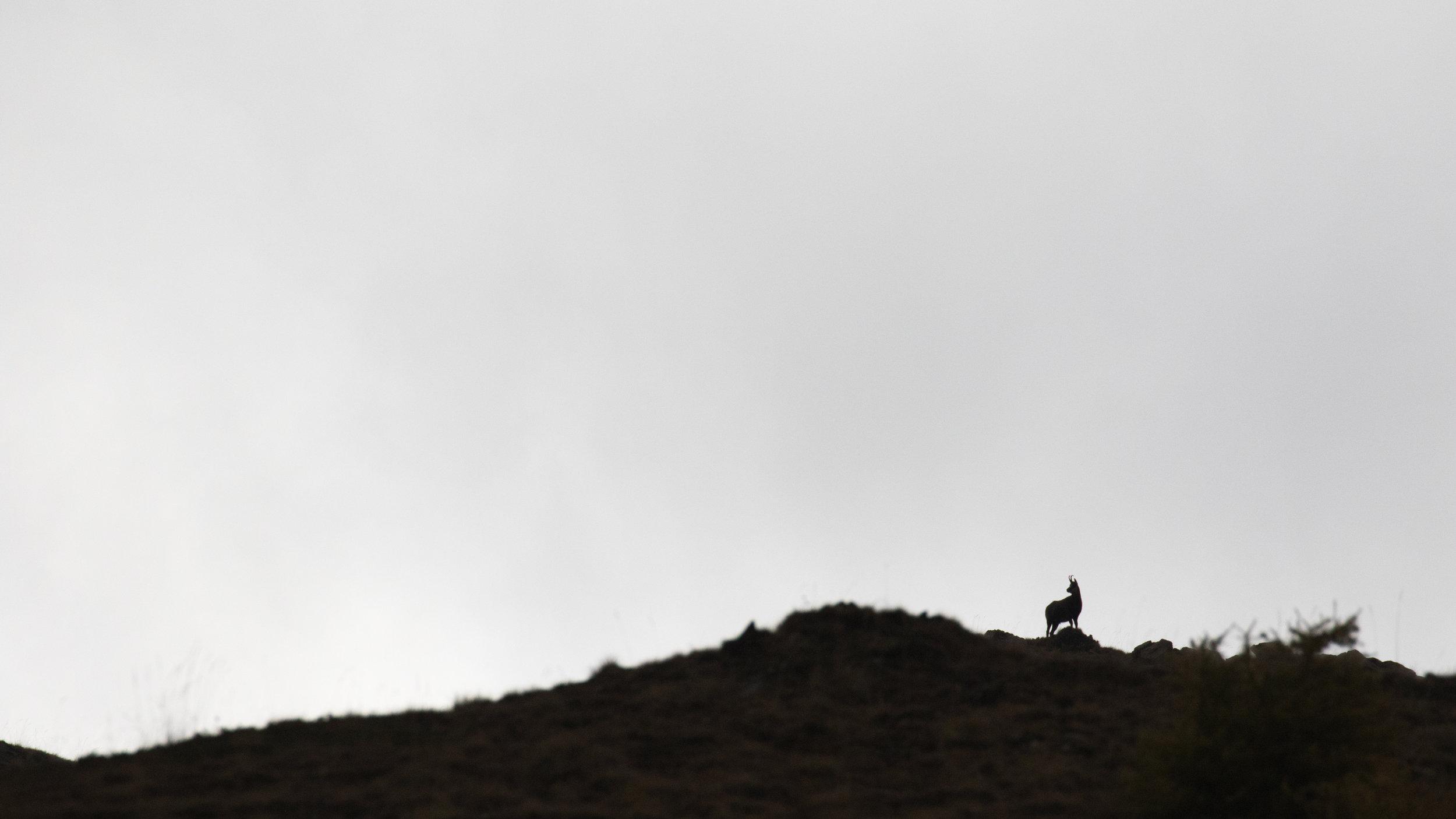 chamois-photography-salva-fauna
