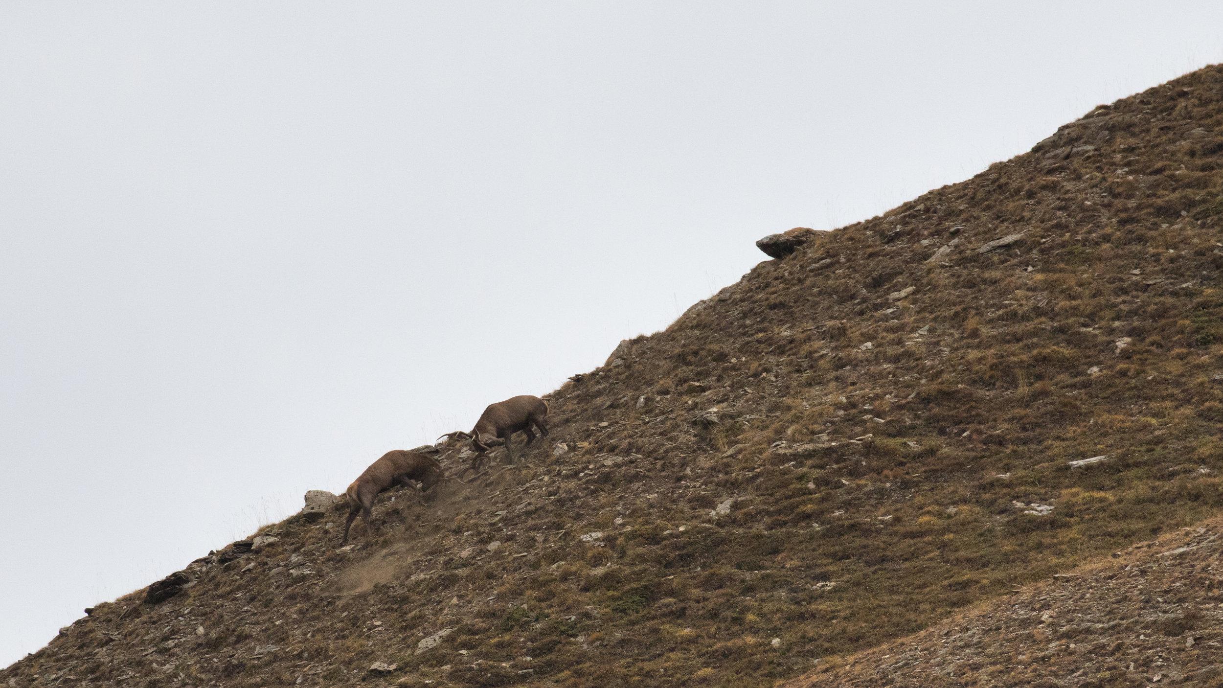 red-deer-rut-fight-mountain-salva-fauna