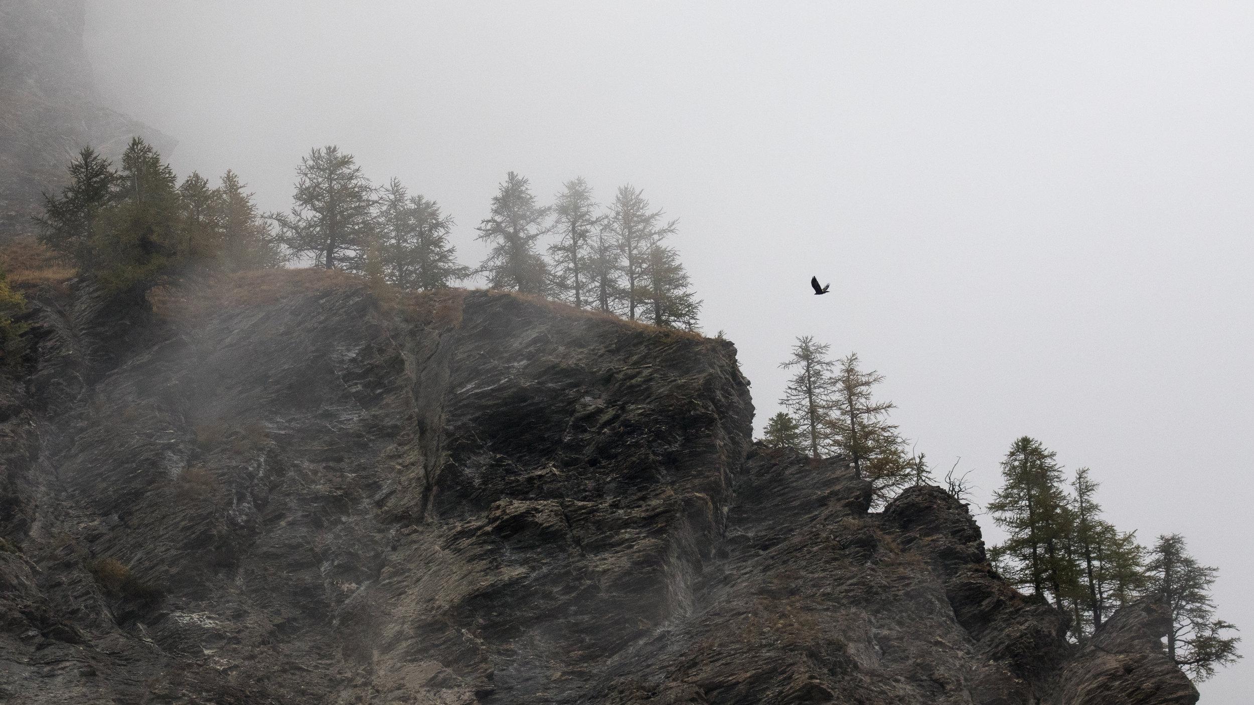 golden-eagle-salva-fauna