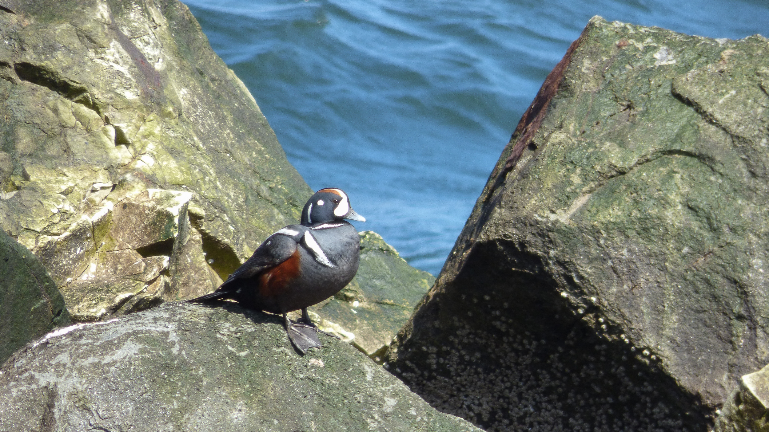 Harlequin duck in Gaspésie, Canada. Photo by Thibaut Rivière.