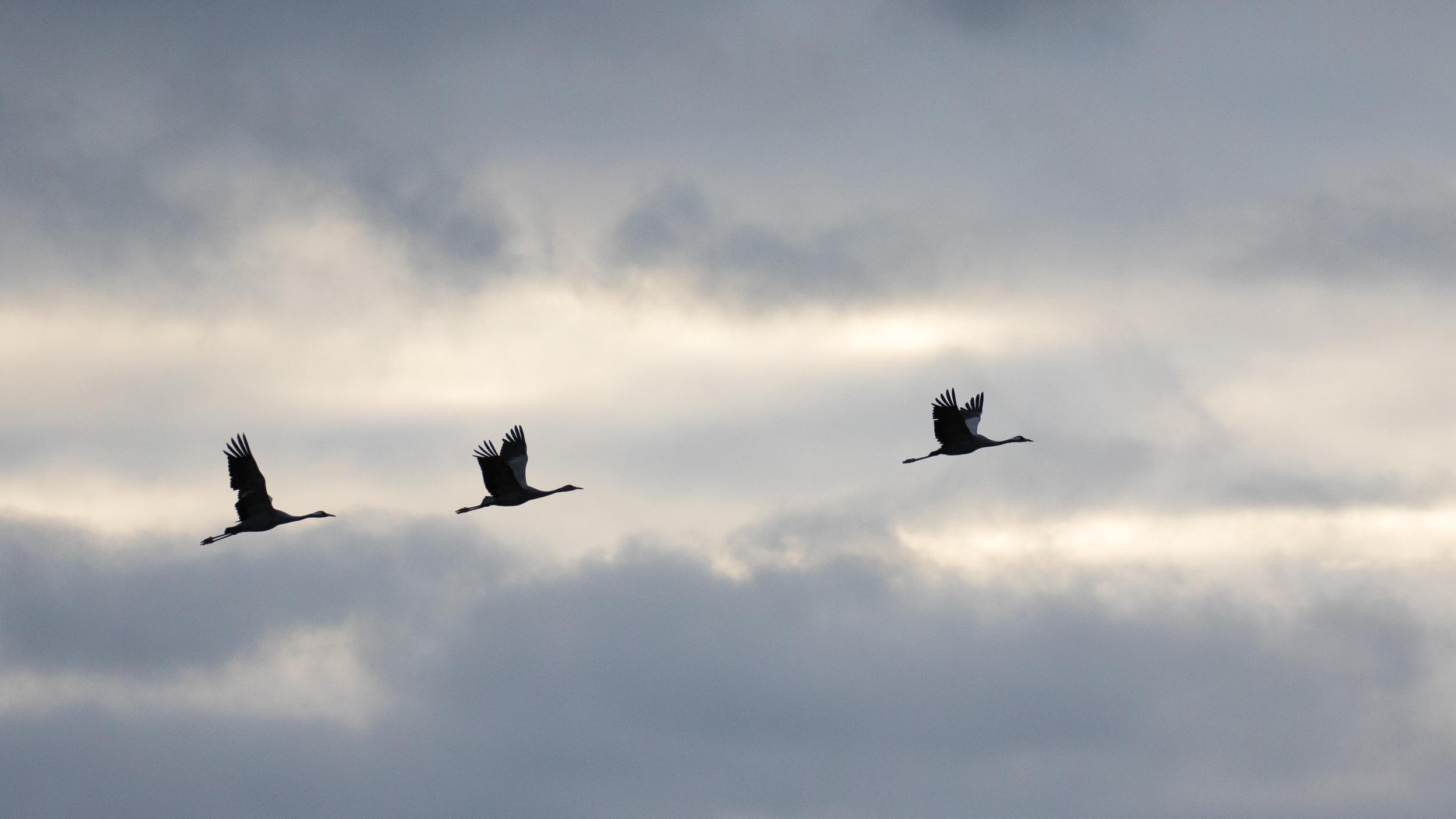 common-cranes-lake-der-chantecoq-france