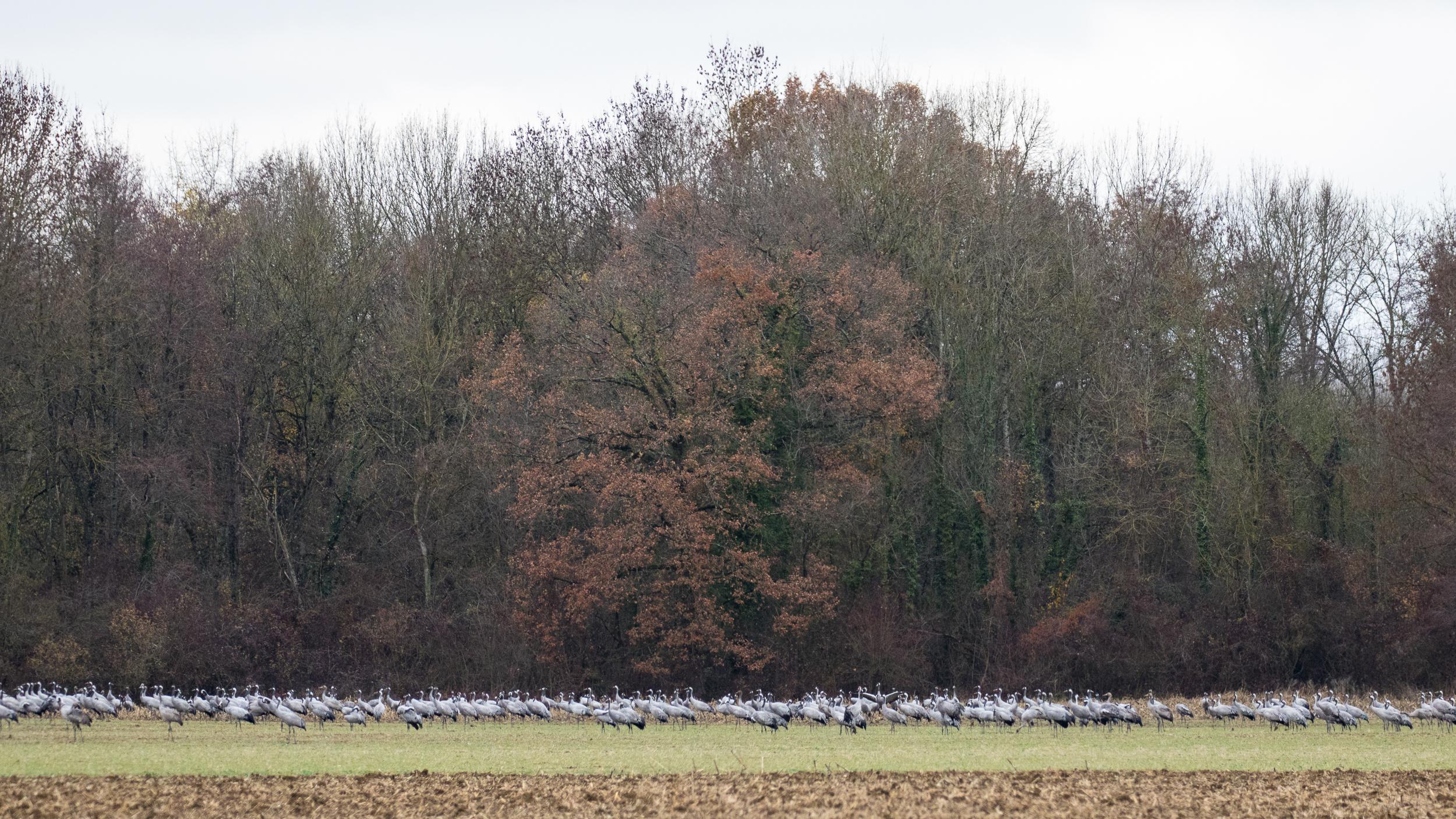 cranes-lake-der-chantecoq-france