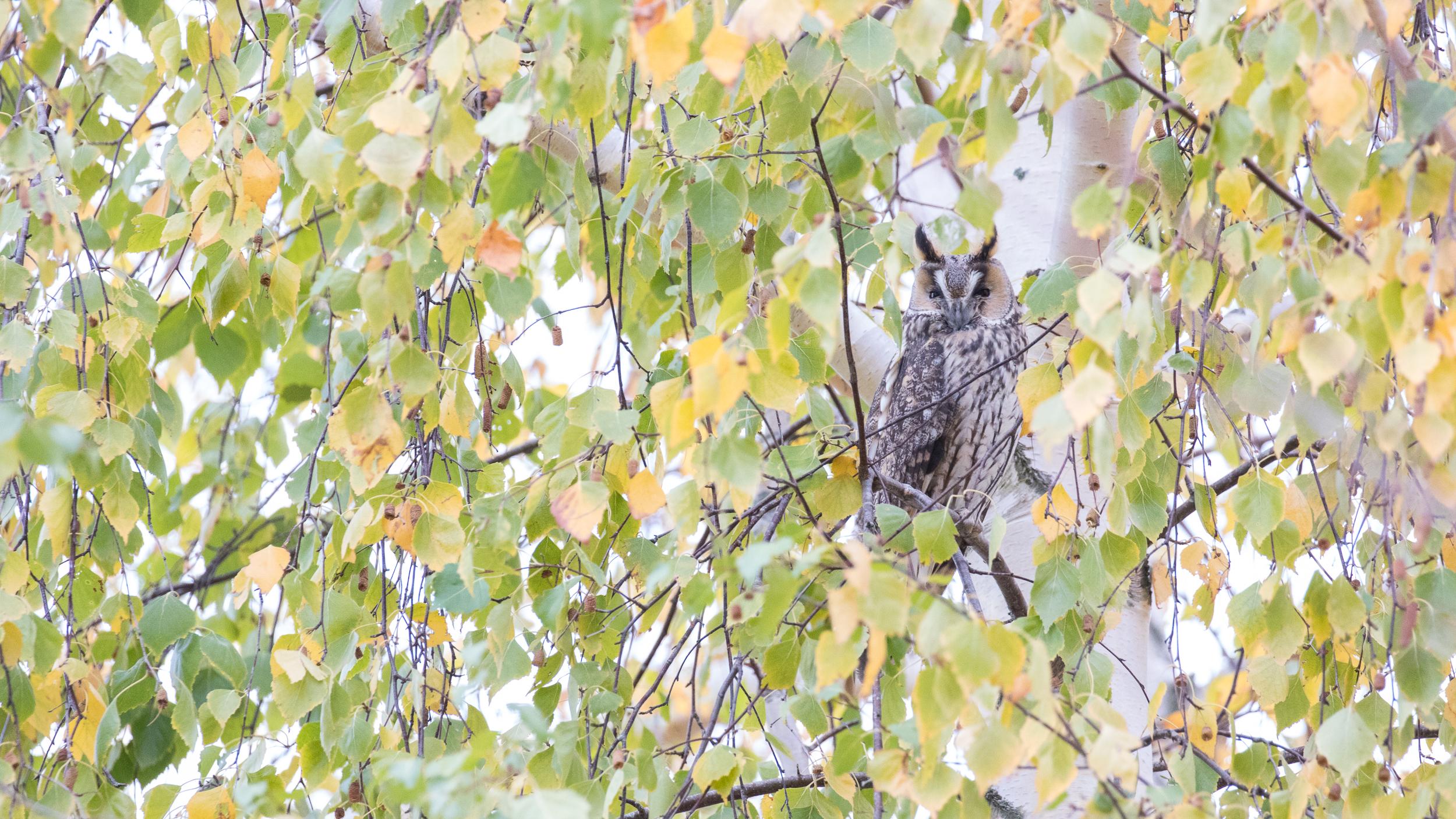 long-eared-owl-lake-der-france