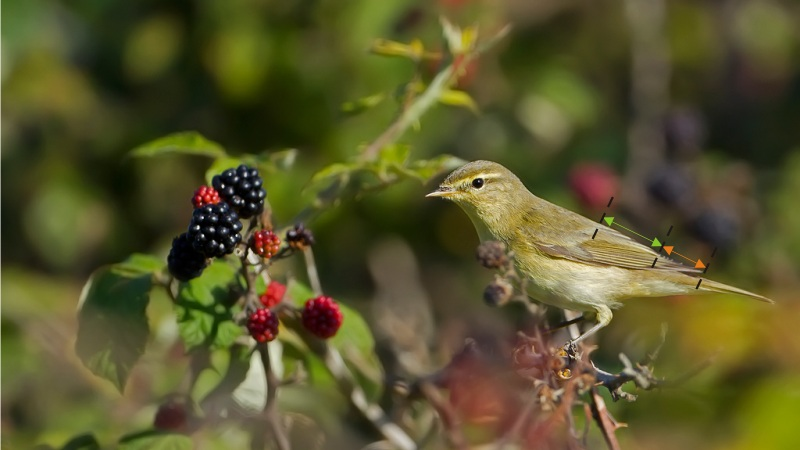 Willow Warbler. Photo by Robert Balestra. Observe the ratio between the remiges of the Willow Warbler: the length of the primaries corresponds to about 2/3 of the tertiary remiges.