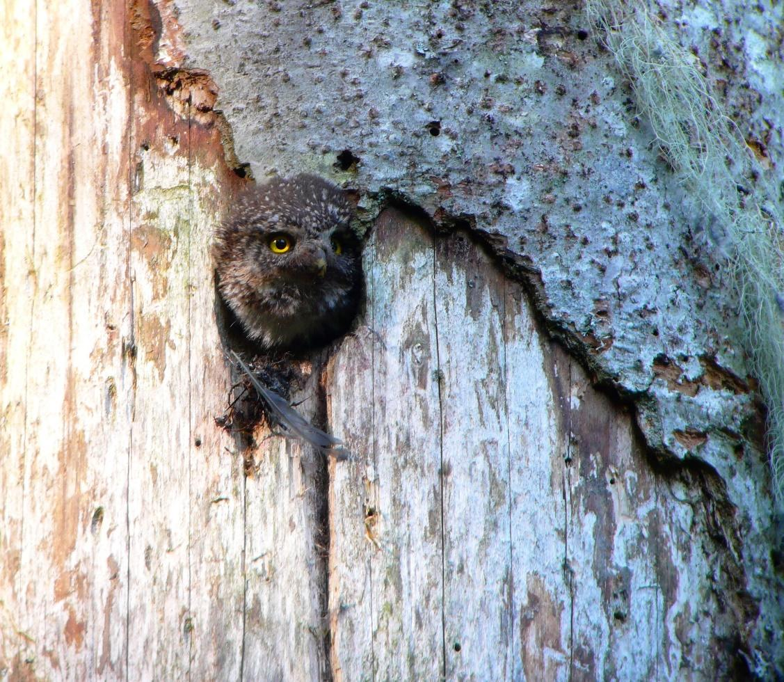 Eurasian Pygmy-owl. When the young are born, the adult spends time cleaning the cavity and throws away the remains of food, droppings, feathers out of the box that are visible under the nest.