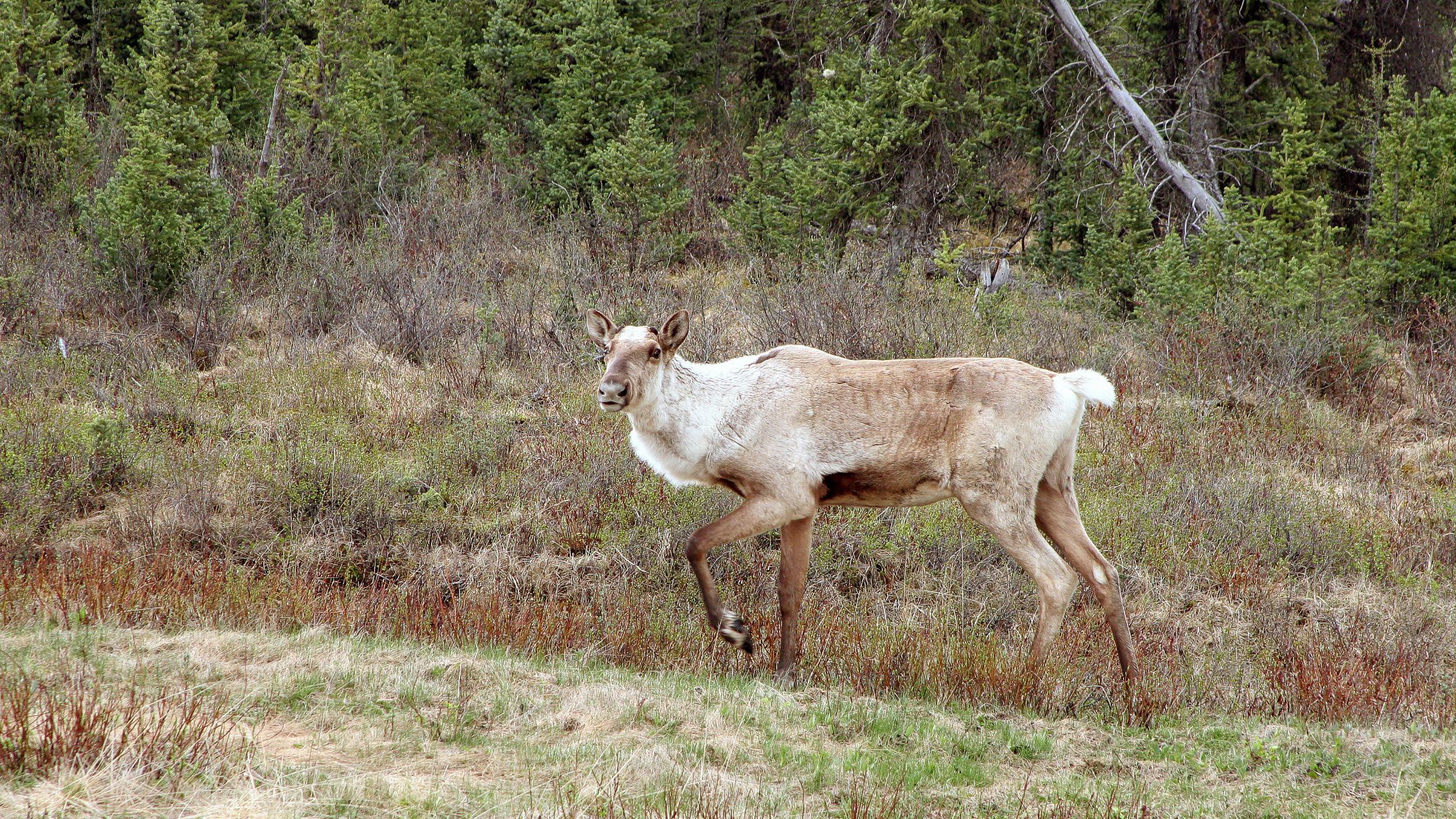 caribou-des-bois-gaspésie