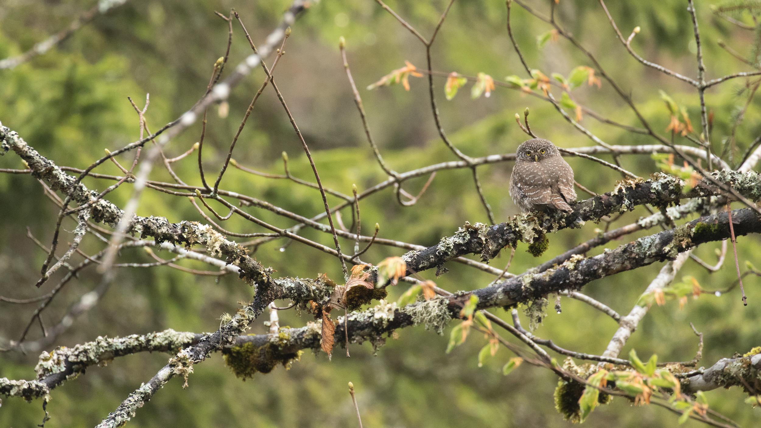 eurasian-pygmy-owl-jura-france