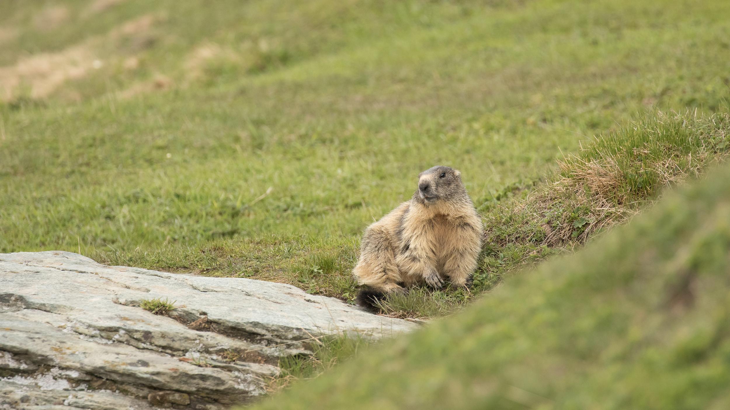 marmotte-parc-national-grand-paradis-italie