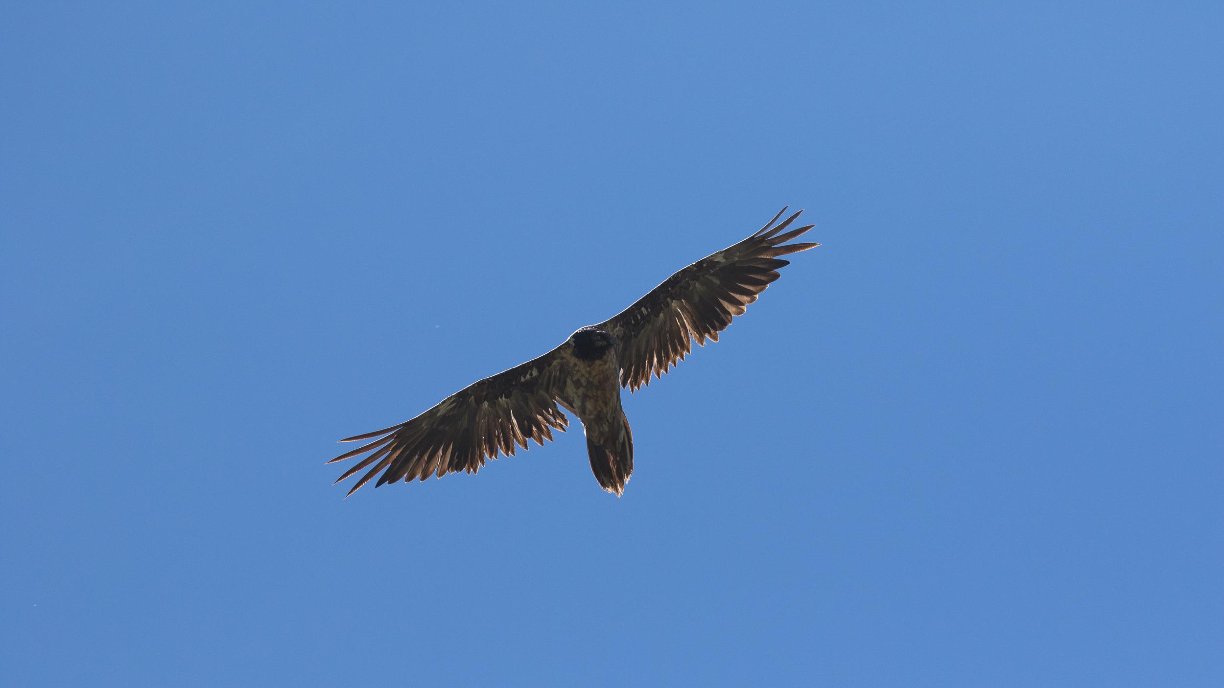 gypaète-barbu-parc-national-grand-paradis-italie