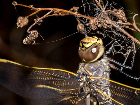 Dragonfly and native bee roosting alongside one another overnight