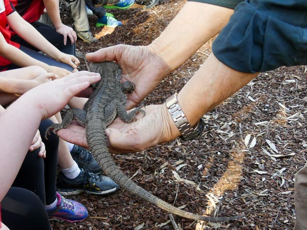 Photo: Students compared the feel, as well as the life histories, of the shingleback, this bearded dragon and a baby blue tongue lizard.