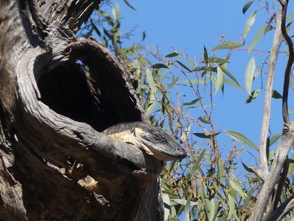 Photo: Sun-baking sleepy lace monitor, high in a tree, watching us below.