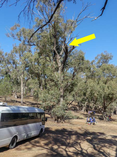 Photo: To give a sense of how high the monitor was, here's a wider shot of the whole tree. Monitor and hollow shown with arrow. Students and minibus below. John Holstein was the eagle-eye who first spotted our friend. See one of his fab photos  here .