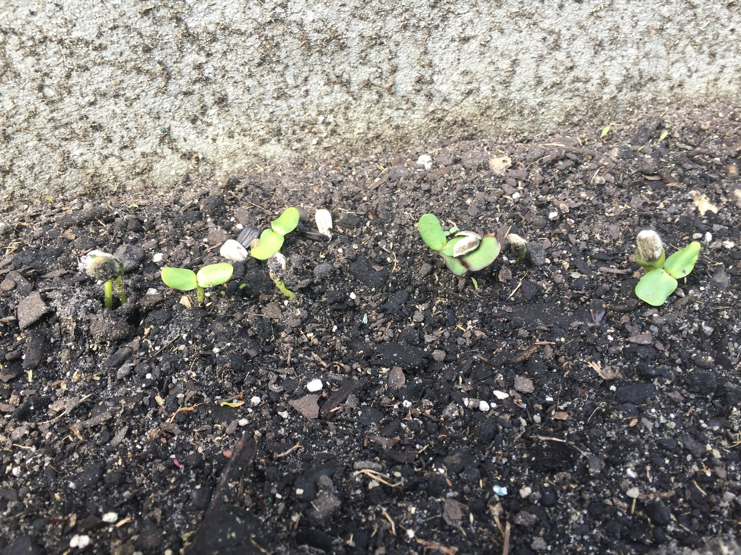 We've heard of the rose which grew from concrete but in her' we're cultivating the sunflowers which gotta grow from cement...  Sprouting! Yeah what!