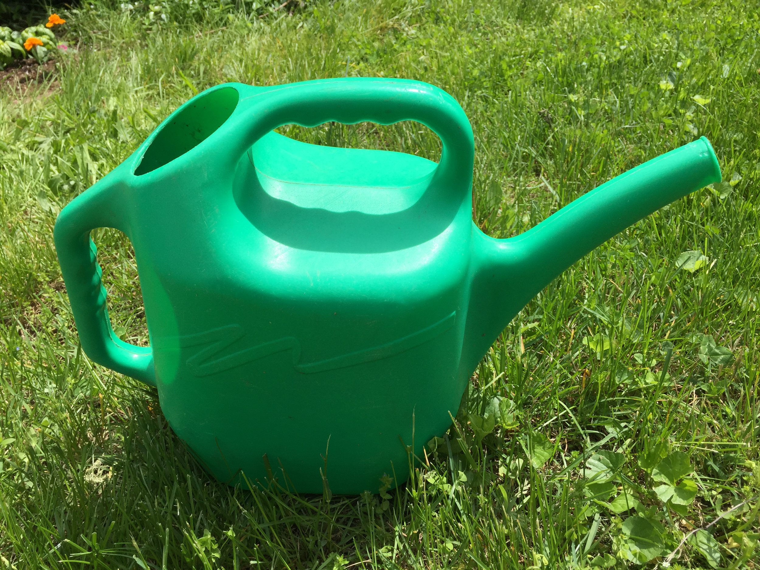 Watering my sunflowers every day with my trusty green watering can!