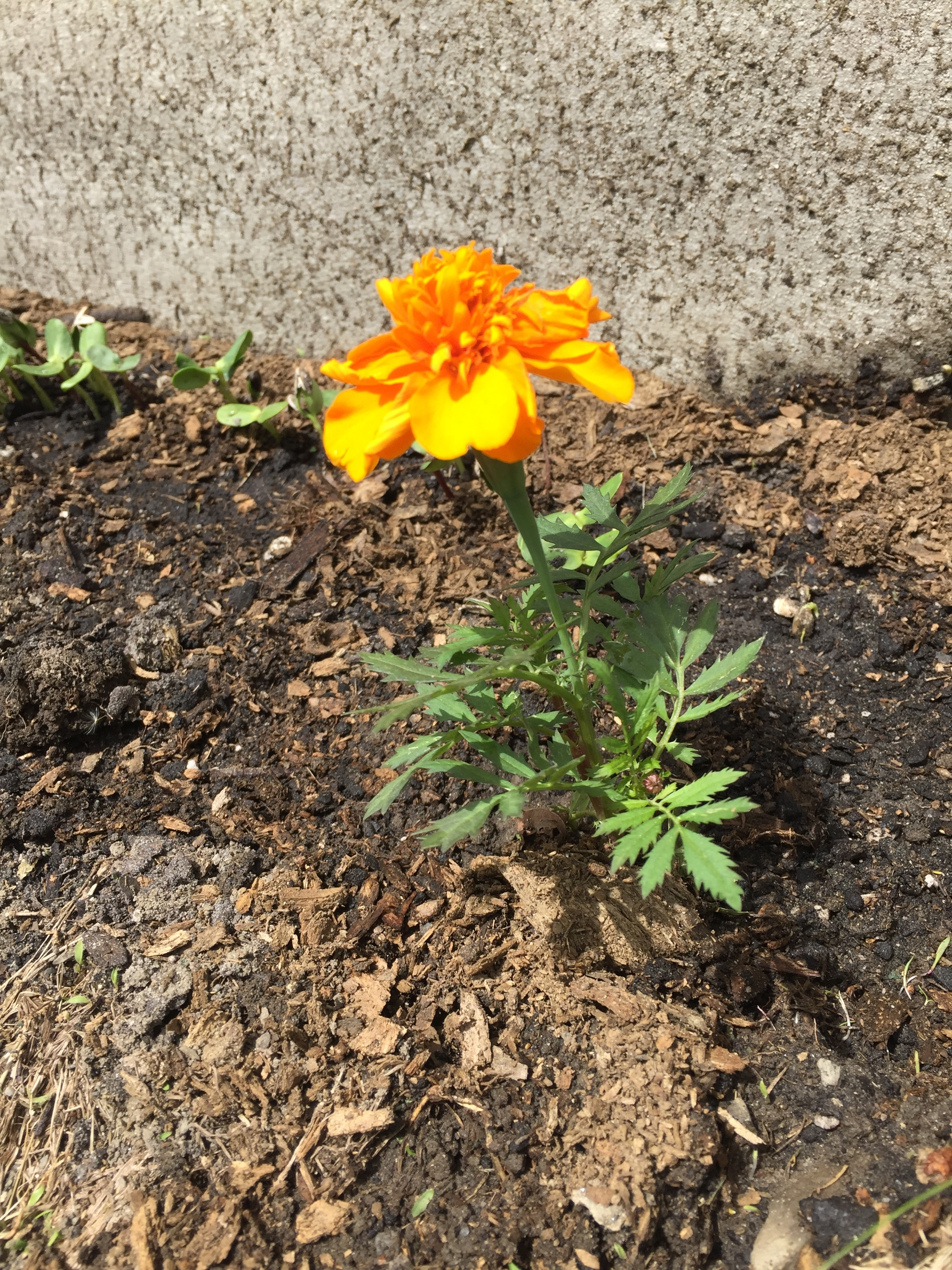 I planted six marigolds in the sunflower garden to keep away the undesirables!