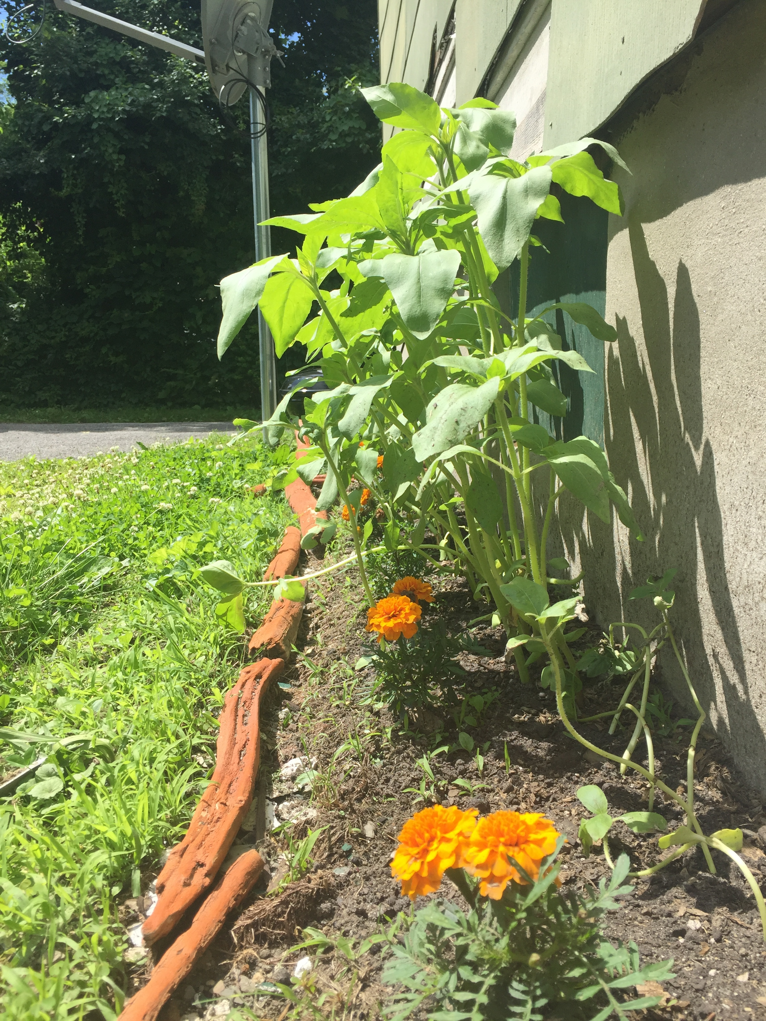Did they recover? Ya can bet your green...whatever...I am thinning them every so often but every time I have to remove a plant, it pains my plant-loving heart...My valiant sunflowers be committed to owning their space and ruling their garden. The marigolds? Their humble guardians! My sunflowers be killin' it, son...They grow in NY so this is how we must talk about them...OF COURSE!