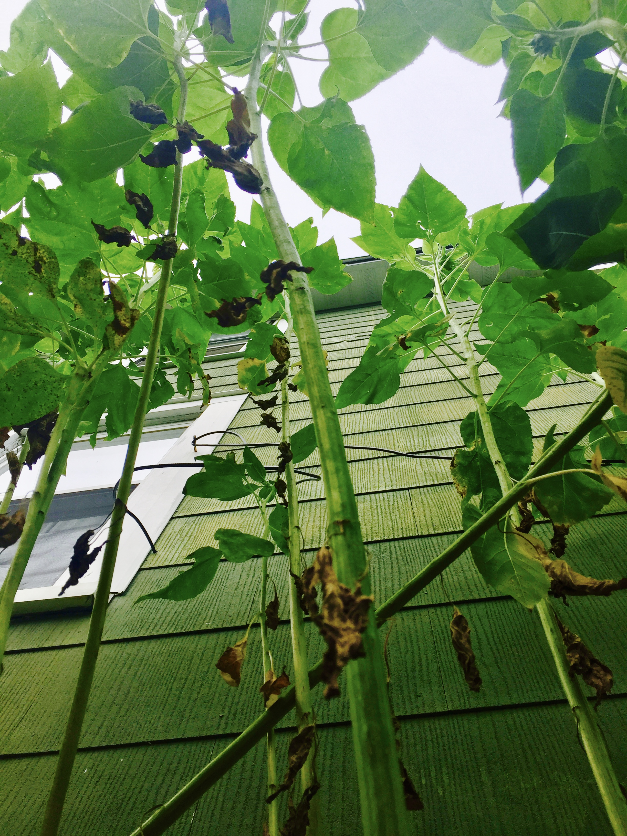 A view from the ground floor...Sunflowers teach us this: Be careful who ya hurt on your way up, because at some point the people ya hurt because you though they were only tiny seedlings with no voice and no place in the garden, grow and all the sudden they're looking down on your face.....and letting you know they were always more important than ya to begin with.