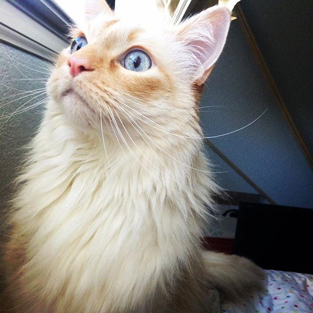 Whoa...what exactly am I seeing right here?  #curious #windowwatching #sunday #cat #wild #blueeyes #mrkittycoco #orangetabby #kitty #gato #fine #feline #denver #colorado