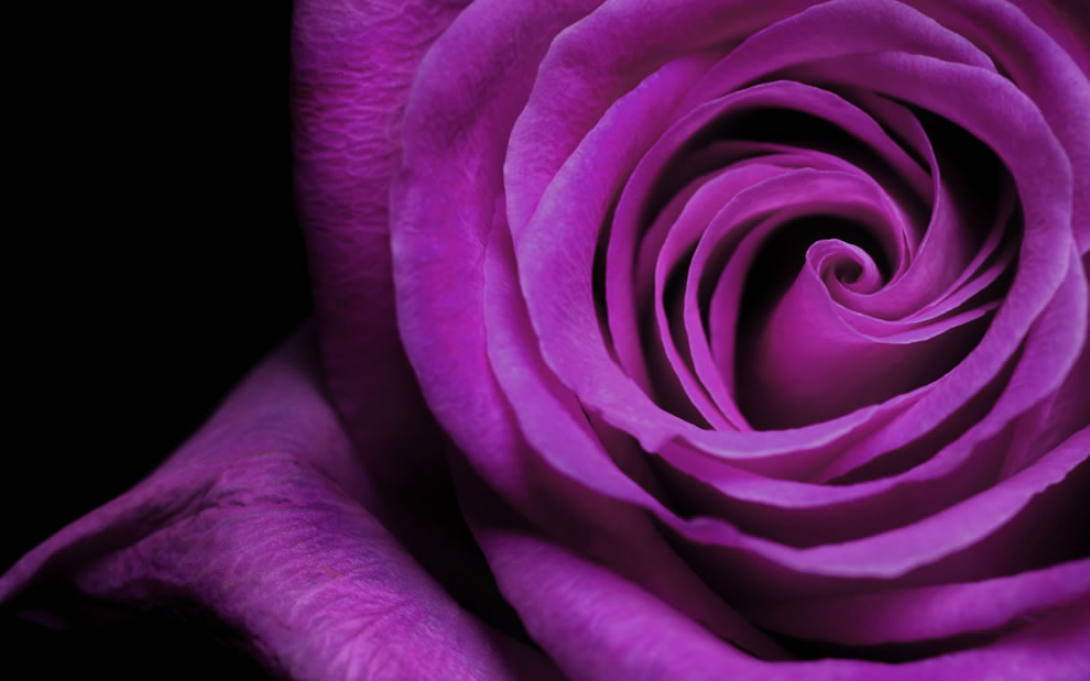 a-purple-rose-may-mean-enchantment-or-enthrallment-to-convey-love-at-first-sight.jpg