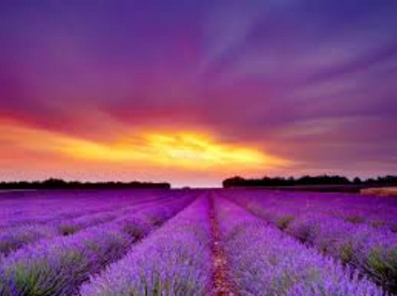 big sky lavendar fields.jpg