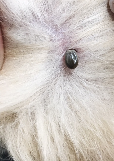 An engorged tick embedded in a canine during the month of January in Virginia.