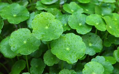 """Gotu Kola  , once referred to by the ancient Chinese as """"The Fountain of Youth,""""is a longevity herb that revitalizes brain cells, enhancing mental clarity and focus."""