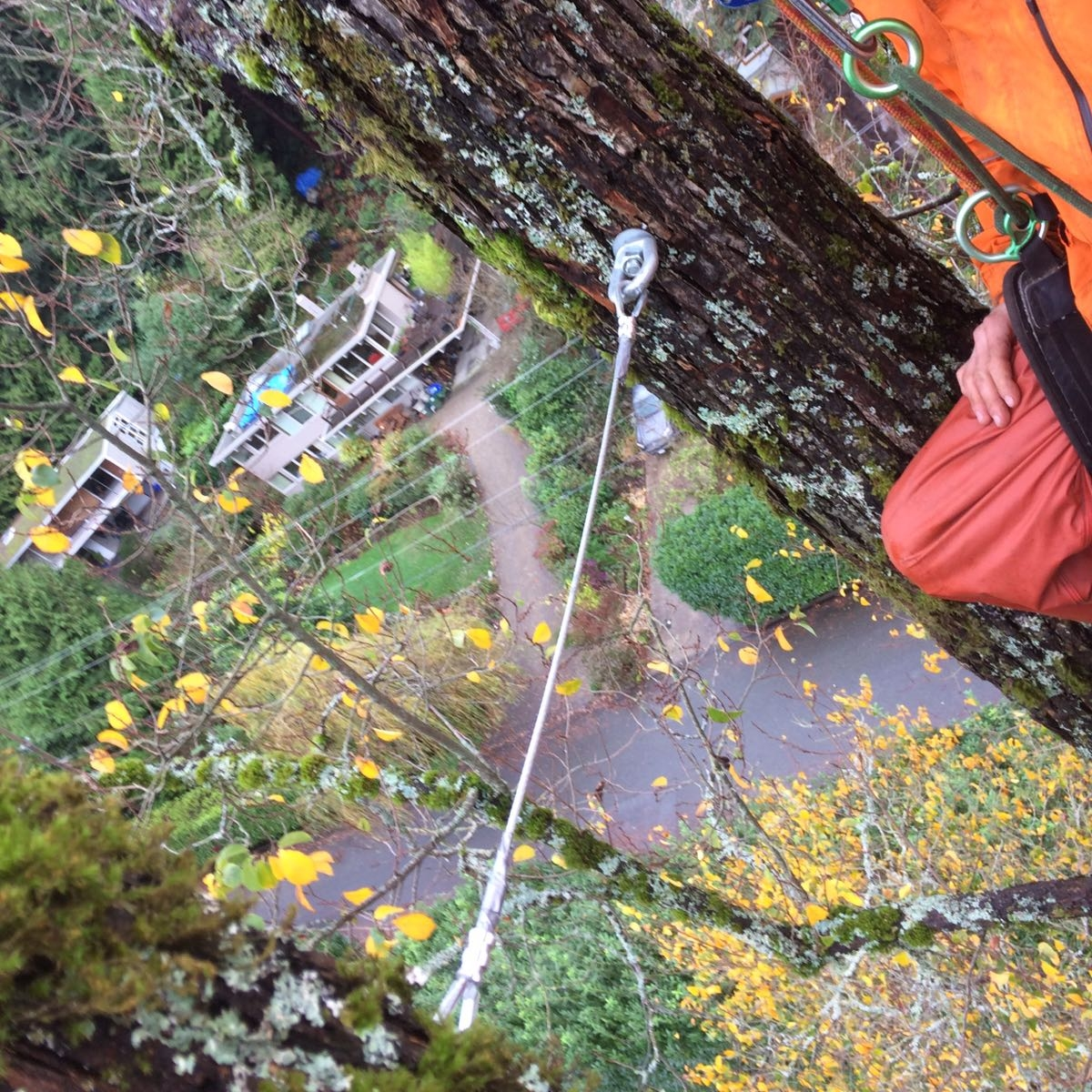 Installing a structural support system in a multi-stemmed elm tree in Horseshoe Bay, British Columbia, Canada.