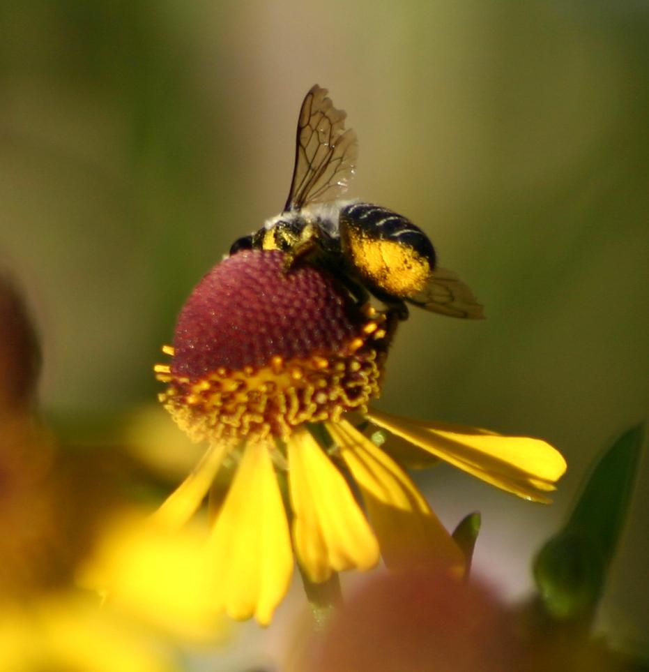 Megachile Scopa