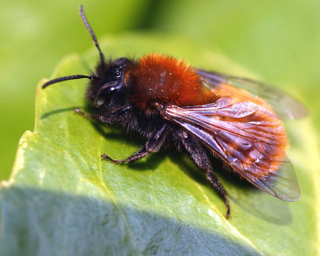 Tawny Mining Bee
