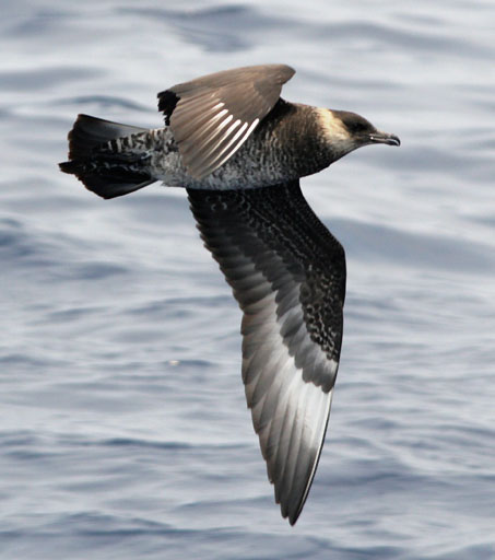 A skua   By Patrick Coin (Patrick Coin) - Photograph taken by Patrick Coin, CC BY-SA 2.5