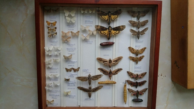 Part of the RHS collection of  Lepidoptera