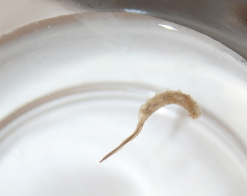 Eristalis tenax  larvae - rat tailed maggot