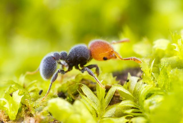 Teddy bear ant -  Tetramorium pulcherrimum.  Photograph under personal license, taken by  Alex Wild .