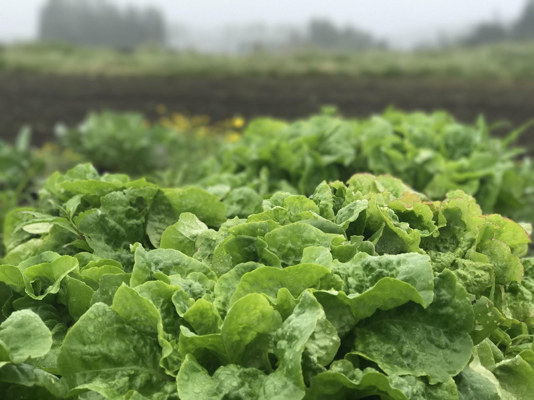 Bibb Lettuce - A sweet, crunchy head lettuce. Great for lettuce wraps or a mild salad.