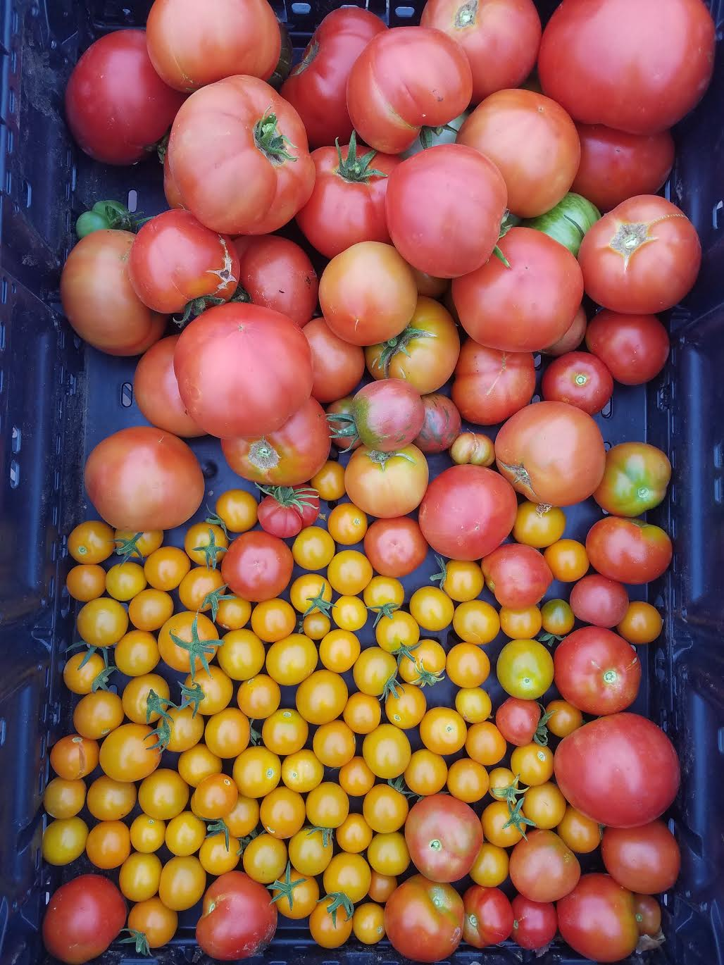 Heirloom Tomatoes - Several varieties with different sizes, shapes, colors, and flavor profiles. The sky's the limit. Raw or cooked, sauced or stewed, roasted or fried, tomatoes are infinitely versatile.