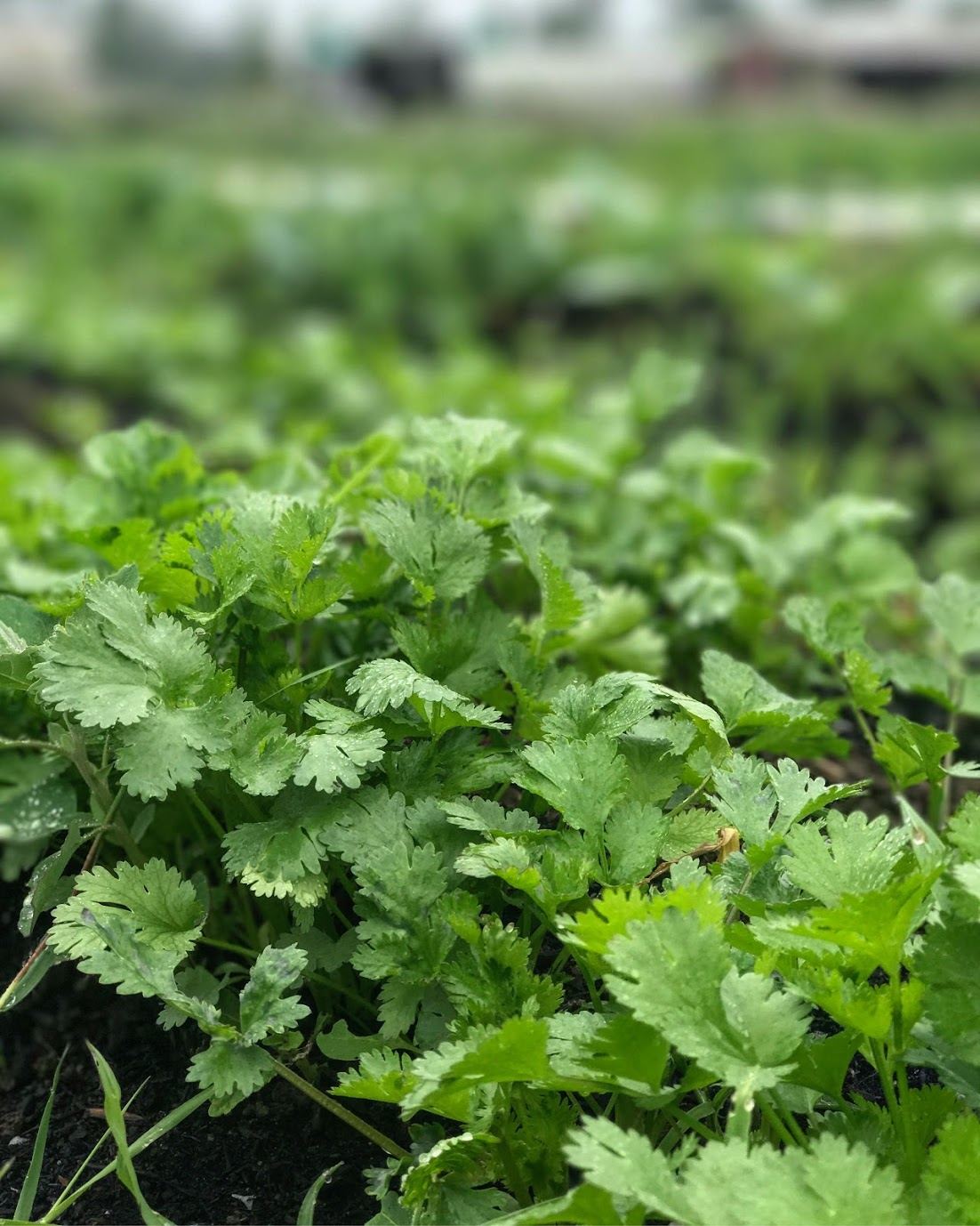 Cilantro - A popular herb throughout the world for it's versatile, fresh flavor. Add to salsas, soups, salads, or rub on meat.
