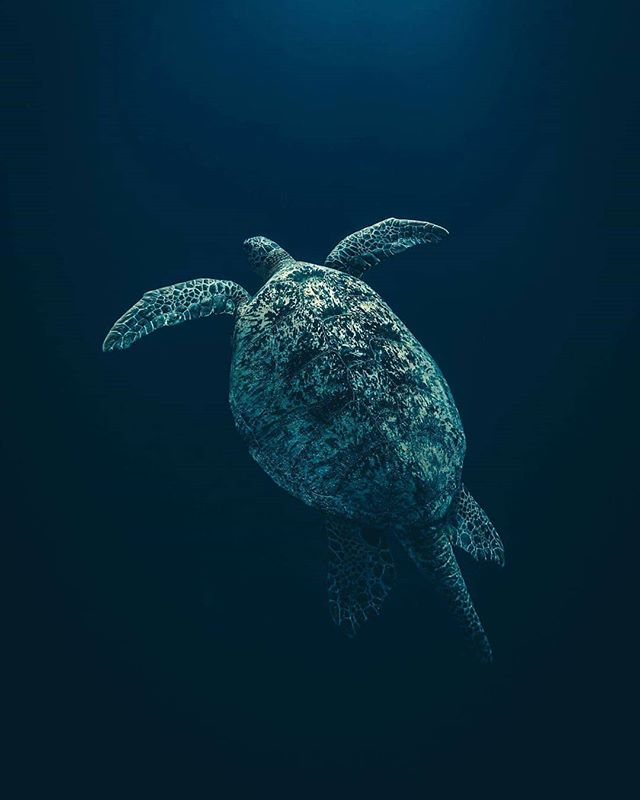 Ancient wisdom personified... I wonder what stories he could tell 🐢 . . . . . . . . . . #turtle #freediving #underwaterphotography #freediver #aquatica #gh5 #ocean #nature #diving #mermaid #girlswhofreedive #bali #freedivers #wildlife  #natgeoyourshot #wildlifephotography #apnea #earth #underwaterphotography #beautifuldestinations #wanderlust #indonesia #earthpix #beautifuldestinations #bbcearth #paradise #girlsthatfreedive #dive #surf #oceanlife