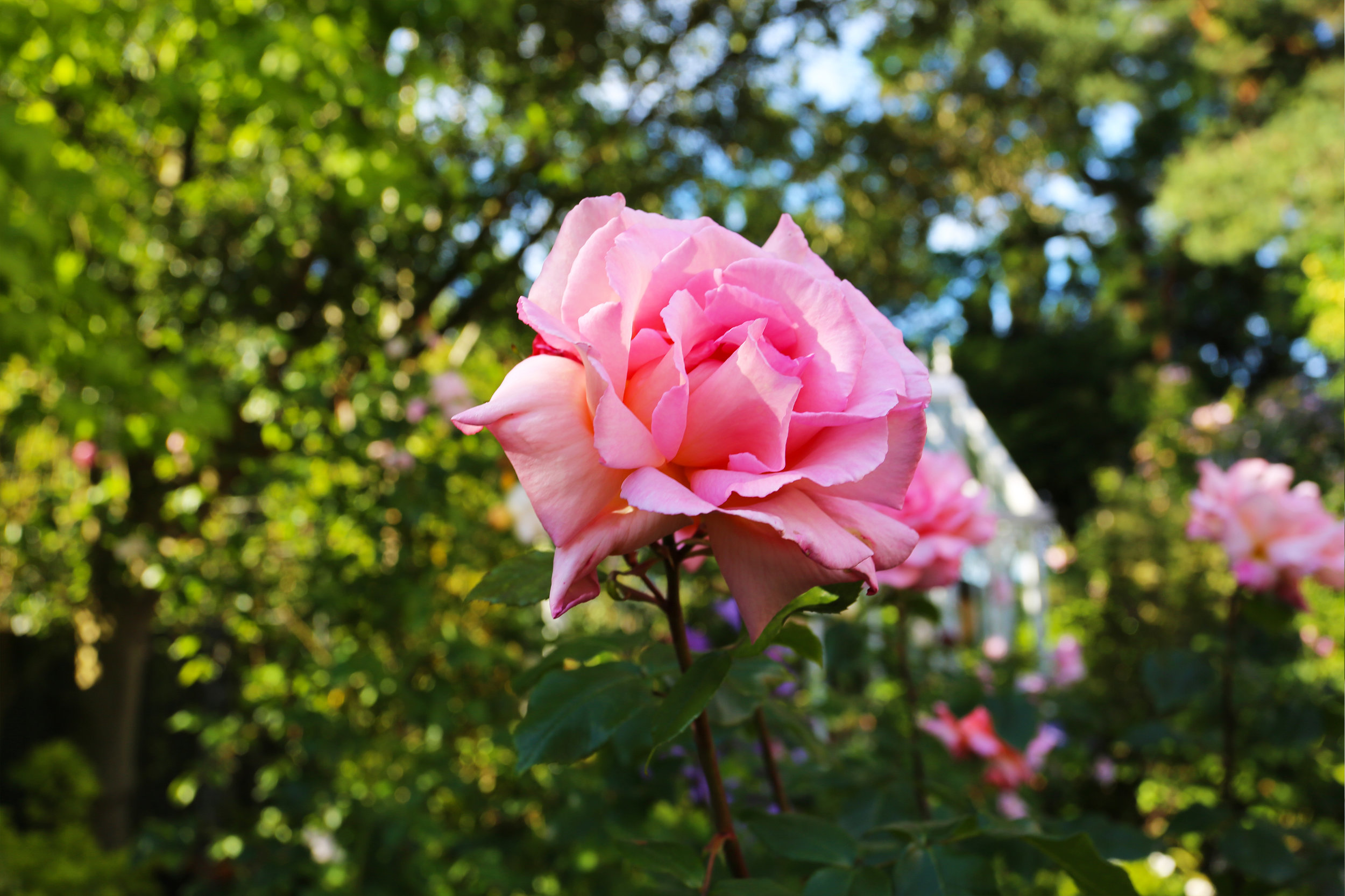 rose_blossom_pink.jpg