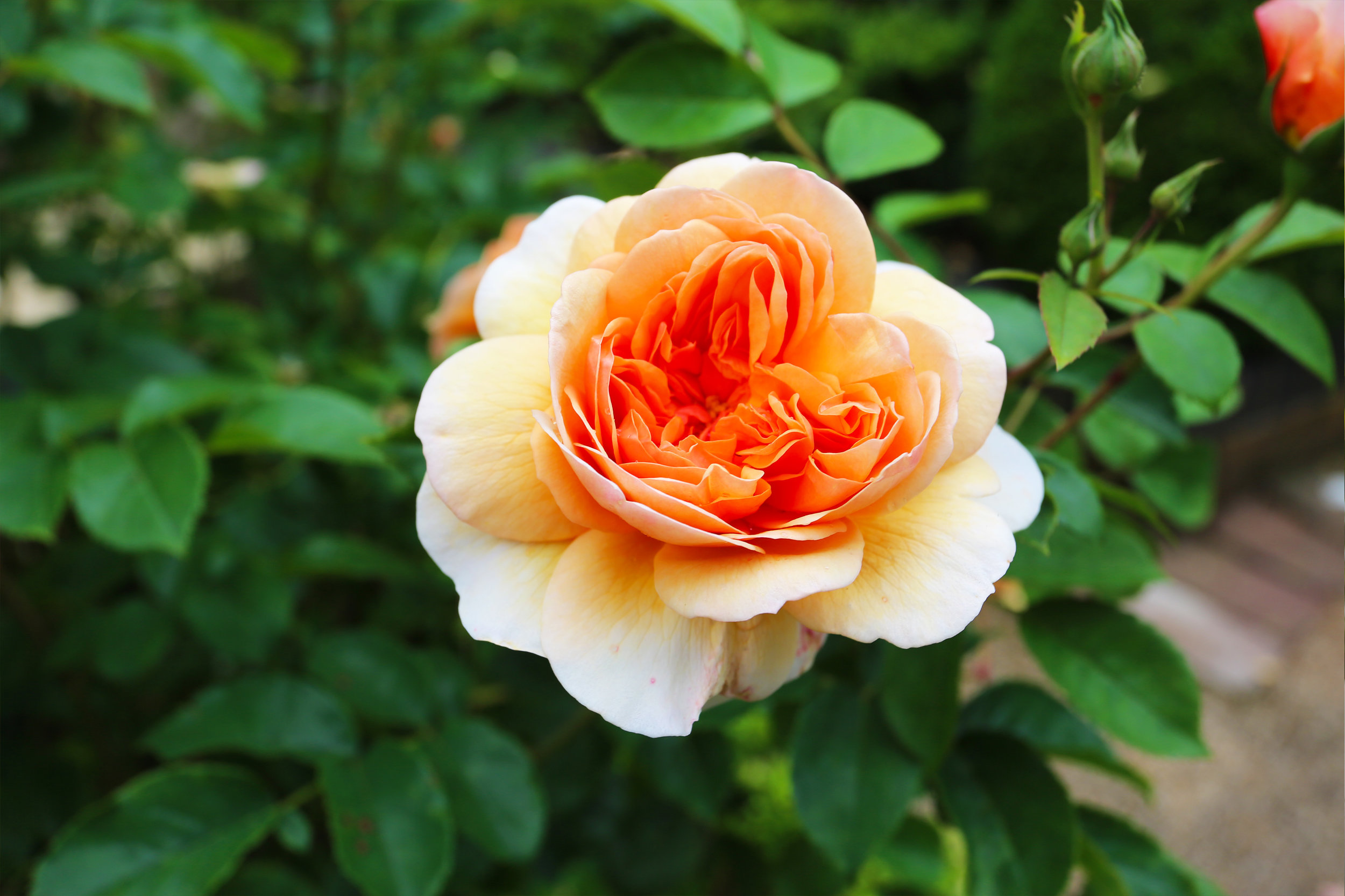 rose_orange.jpg