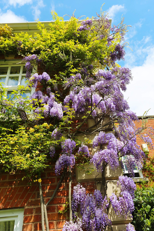 wisteria_sinensis.jpg