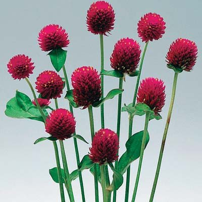 Gomphrena Audray Purple Red