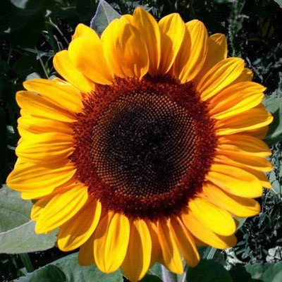 Sunflower Vincent's Choice