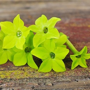 Nicotiana, Lime Green