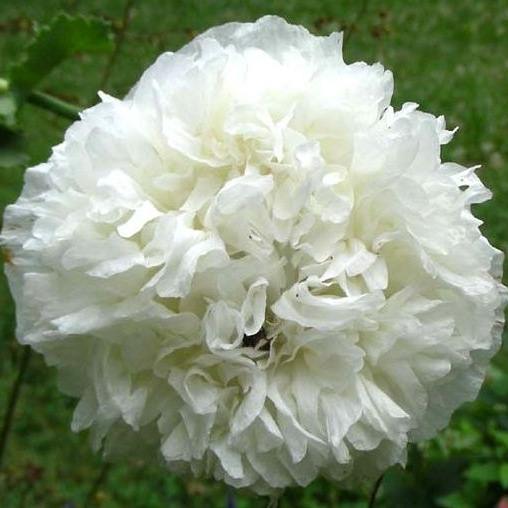 Poppy, White Cloud