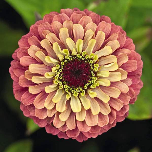 Zinnia, Queen Red Lime