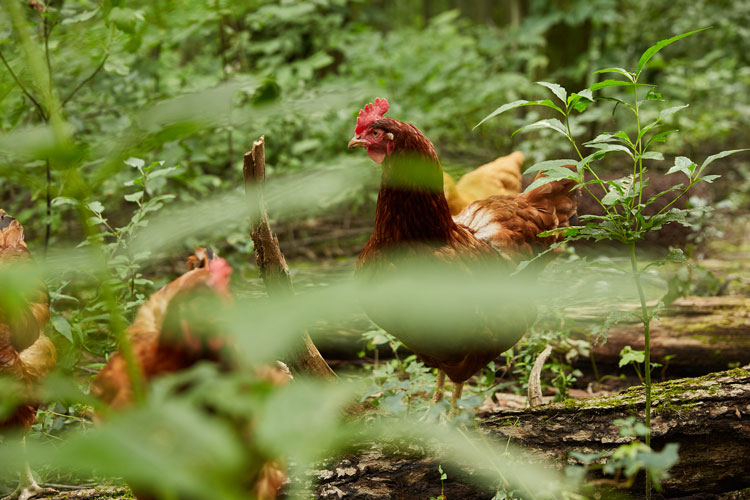 Chickens in the Woods JLC25web.jpg