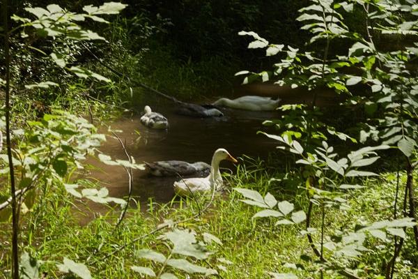 Ducks in Pond JLC30web.jpg